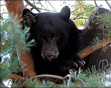 Black Bear_AP
