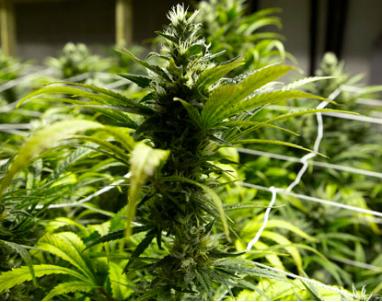 marijuana_2013