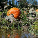 pumpkin_2013