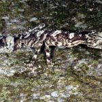 A newly discovered leaf-tail gecko