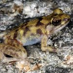 The Blotched Boulder frog