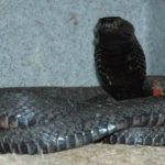 Sarasota Man Had Six Venomous Snakes In His House