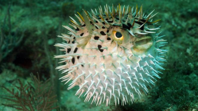 Doctors use fish s neurotoxin to improve lives of cancer for Puffer fish florida